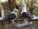 Fancy Pigeon for Sale ( Oriental Frill )